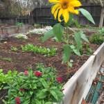 Sunflower in winter, fungi, & other weekend garden musings