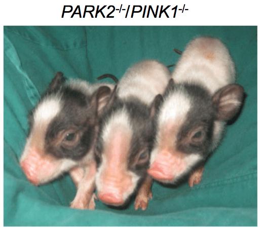 CRISPR-pigs