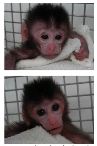 CRISPR-primates