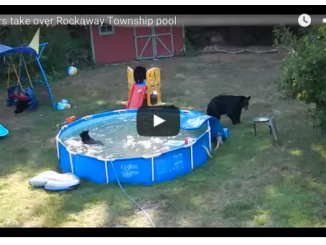 bears in pool