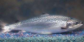 AquaAdvantage-Salmon