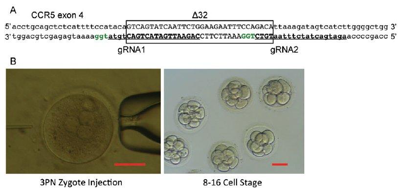 Human-embryo-CRISPR