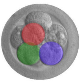 An artistic depiction of human embryo CRISPR starting with an image of a real embryo.