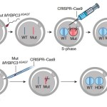 Review of Mitalipov paper CRISPR'ing human embryos: transformative work on the edge