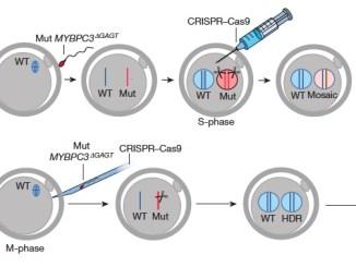 Human embryo CRISPR