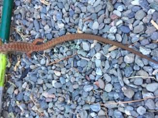 California alligator lizard garden