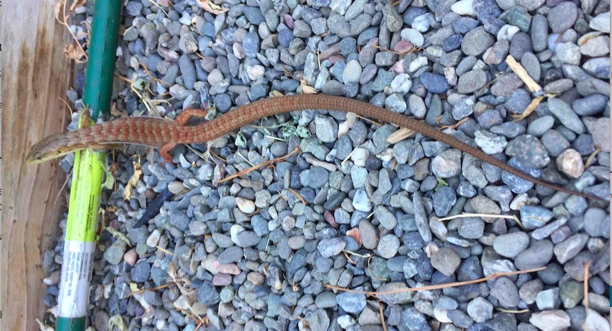 California alligator lizard garden