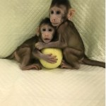 Is monkey cloning a breakthrough or a bad idea?