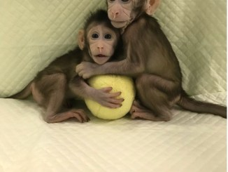 monkey cloning