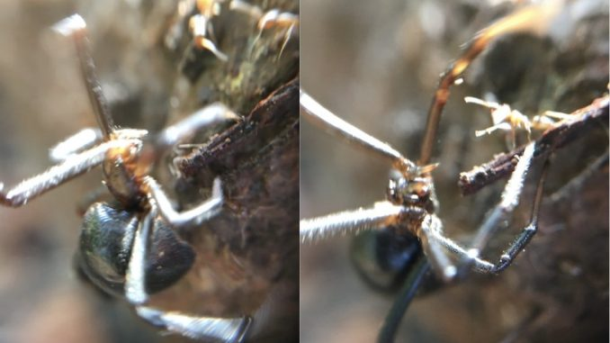 Ant crawls right up to Black Widow Spider