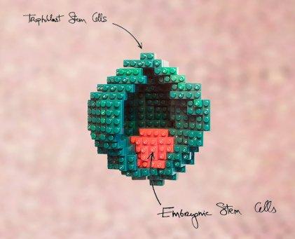Embryo model legos, Copyright Nicolas Rivron, used with permission