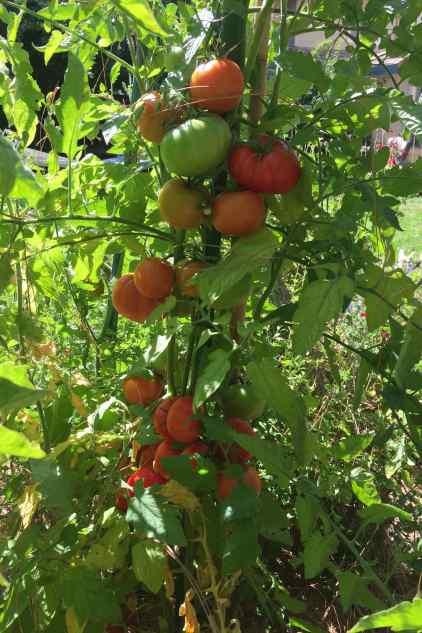 tomato garden 2018