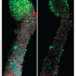 Headless little bananas? Check out new duo of stem cell pubs