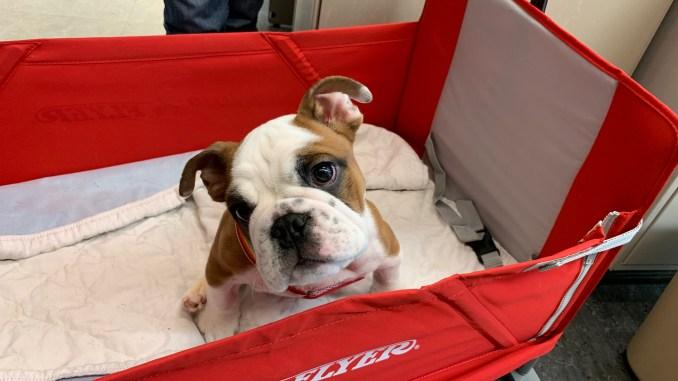 stem cells for spina bifida Arthur the dog