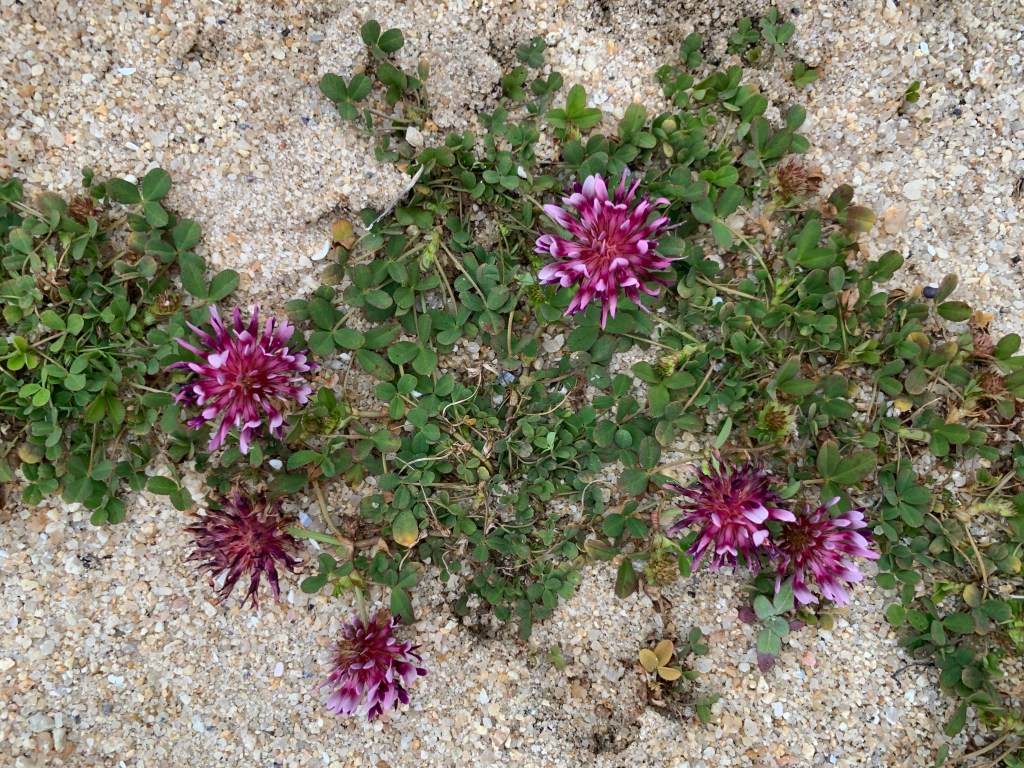 Asilomar Beach flowers