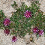 Asilomar: great science plus shells, flowers on the beach
