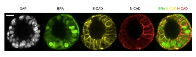 Fig 4d Nat Cell Bio 2019 Simunovic et al