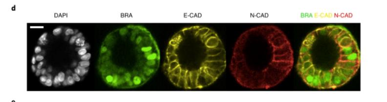 Fig 4d Nat Cell Bio 2019 Simunovic et al, artificial embryos