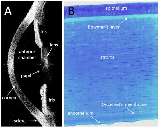 human-corneal-anatomy2