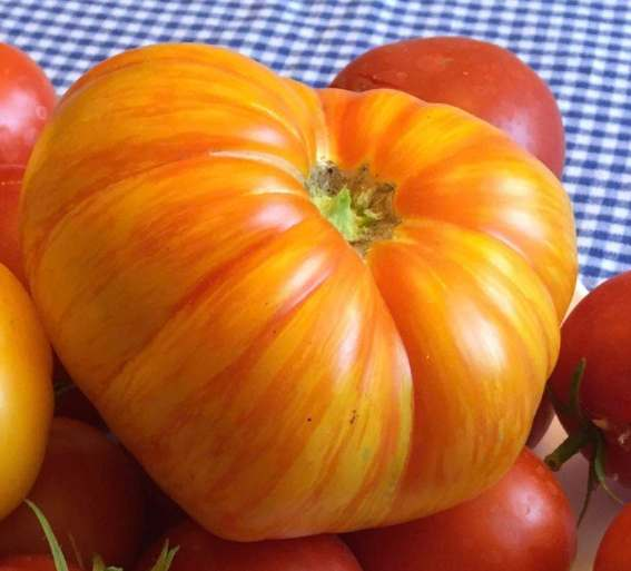 Beauty King Tomato, how to garden