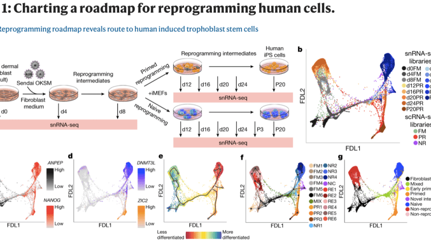 Reprogramming roadmap reveals route to human induced trophoblast stem cells, reprogramming on the brain