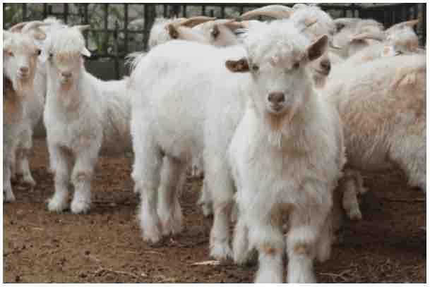 CRISPRd-goats-small