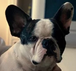 Breed Overview of French Bulldogs