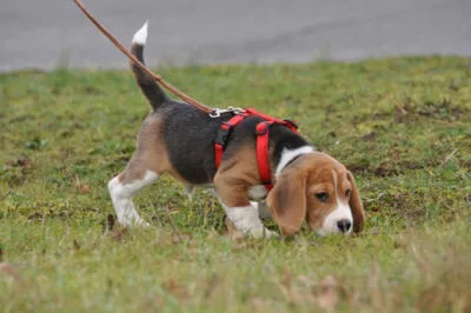 Tracking for Beagles