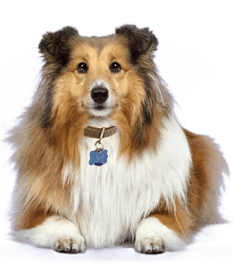 Sheltie Breed