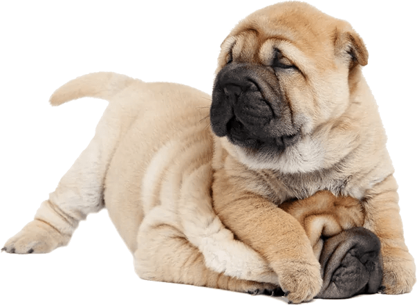 Shar-Pei Breed FactFinds