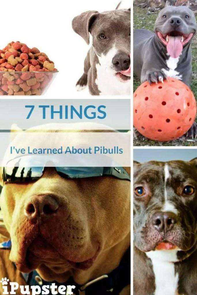 Pitbull Breed Traits and Characteristics