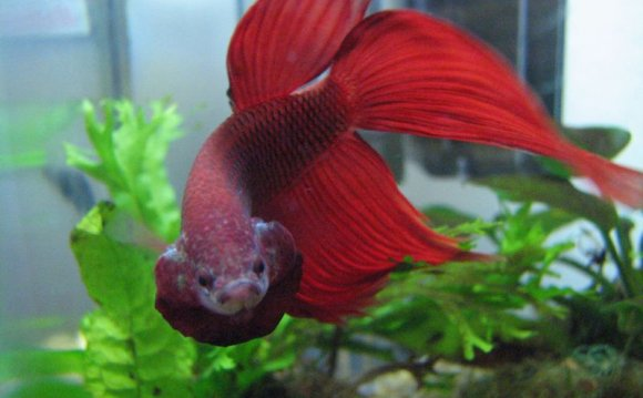 Happy Betta fish behavior :: Vang Bettas