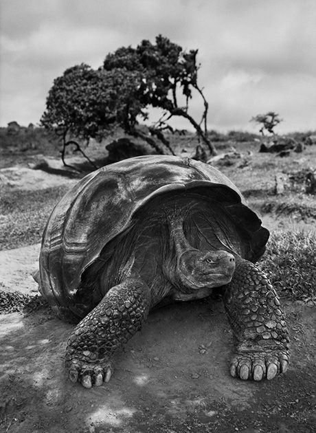 Tartaruga Gigante, Galápagos © Sebastião Salgado