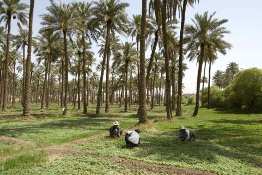iraq-palms-afp-e1426244071484