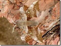 Laothoe populiis -- The Poplar Hawk Moth