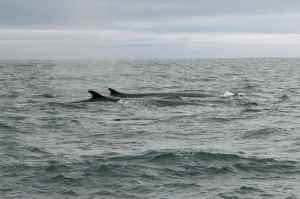 Fin whales surface off the coast of West Cork
