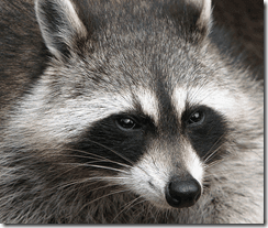 County Cork raccoon threat probably exaggerated