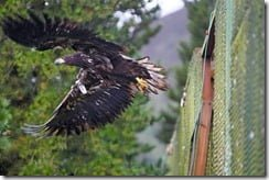 White tailed eagle being released in Co. Kerry last week (Photo via the Golden Eagle Trust page on Facebook)