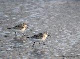 Sanderling, Long Strand