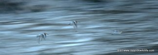Sanderling in flight, Long Strand