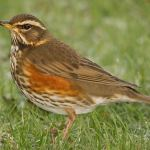 Redwing by Alistair Prentice via Flickr
