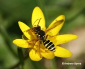 Solitary bee - Nomada - Andrew Byrne