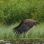 White tailed eagle fledgling at Mountshannon, Co. Clare