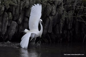 Little Egret, Rosscarbery, West Cork
