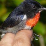 Wakatobi Flowerpecker