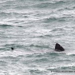 Basking Shark Dursey Island, West Cork
