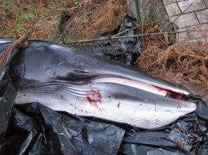 Blackwater Minke Whale
