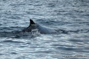 Another view of the humpback's distinctively marked dorsal fin