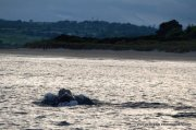 People strolling along the strand at Inchydoney as a humpback whale lunge feeds just off the beach in the falling light.