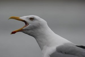 Herring Gull the target of call for seagull cull